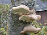 pensée du jour champignon d'arbre
