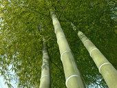 arbre de bambou